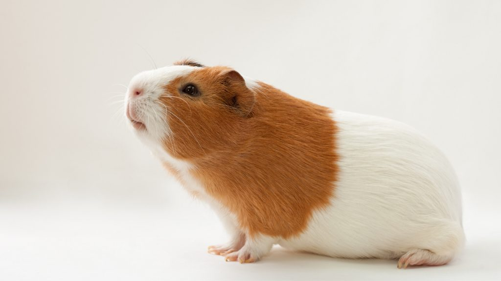 Guinea Pigs are Healthy