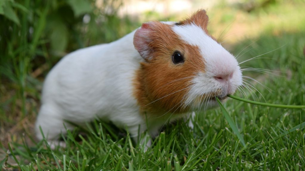 Herbs and Grass for guinea pigs
