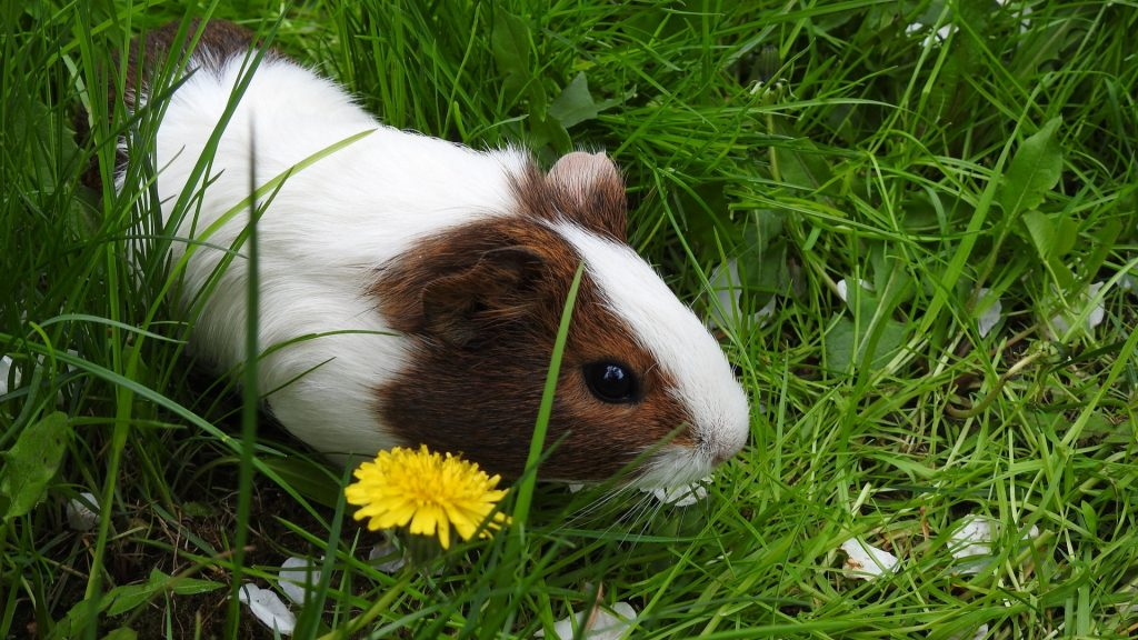 More Information About Guinea Pigs and Dandelions