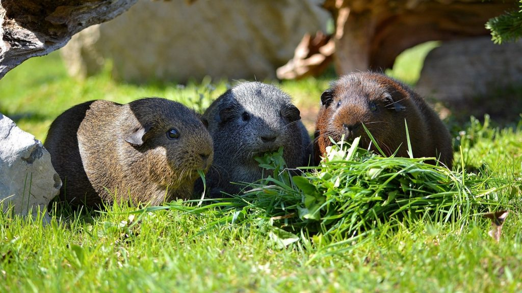 Nutritional Requirements for Guinea Pigs