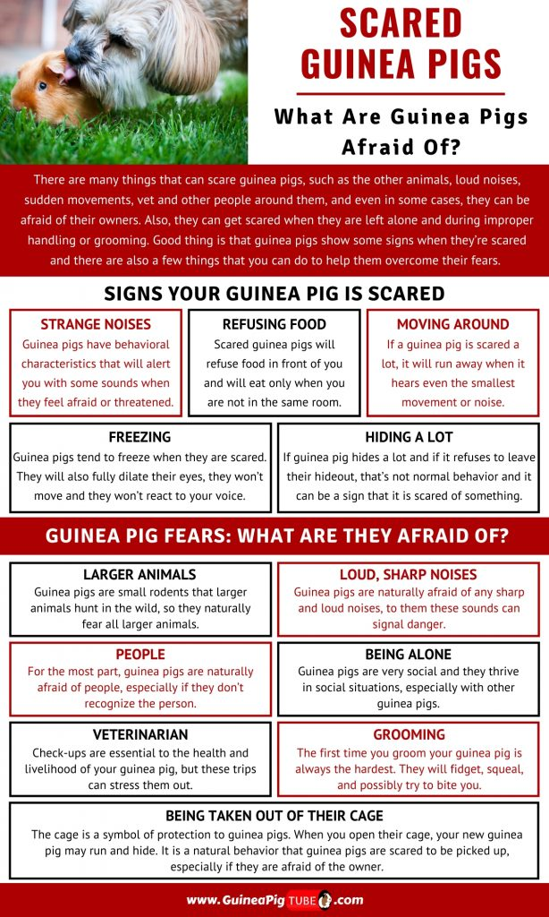 Scared Guinea Pigs What Are Guinea Pigs Afraid Of_1