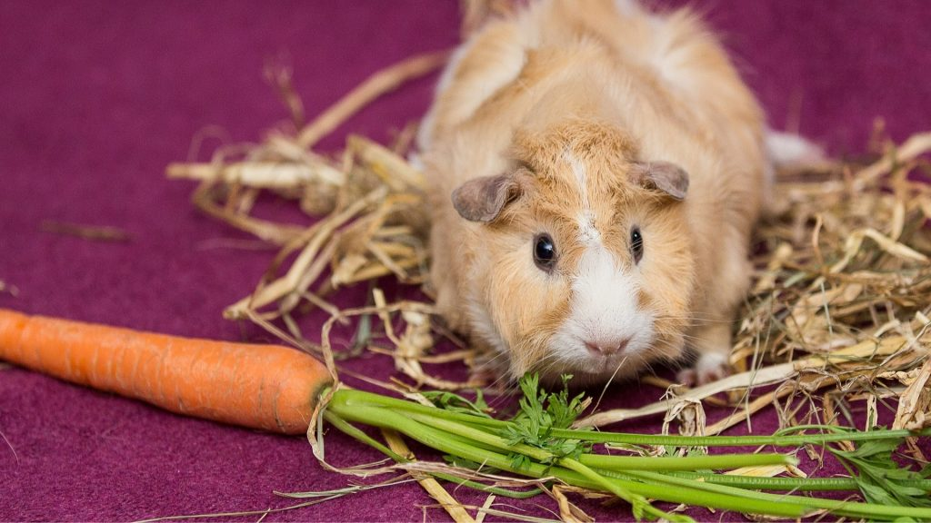 Vegetables and Leafy Greens for guinea pigs