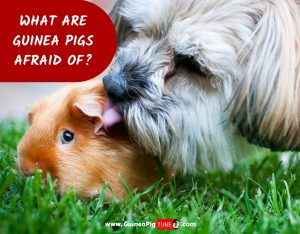 What Are Guinea Pigs Afraid Of_