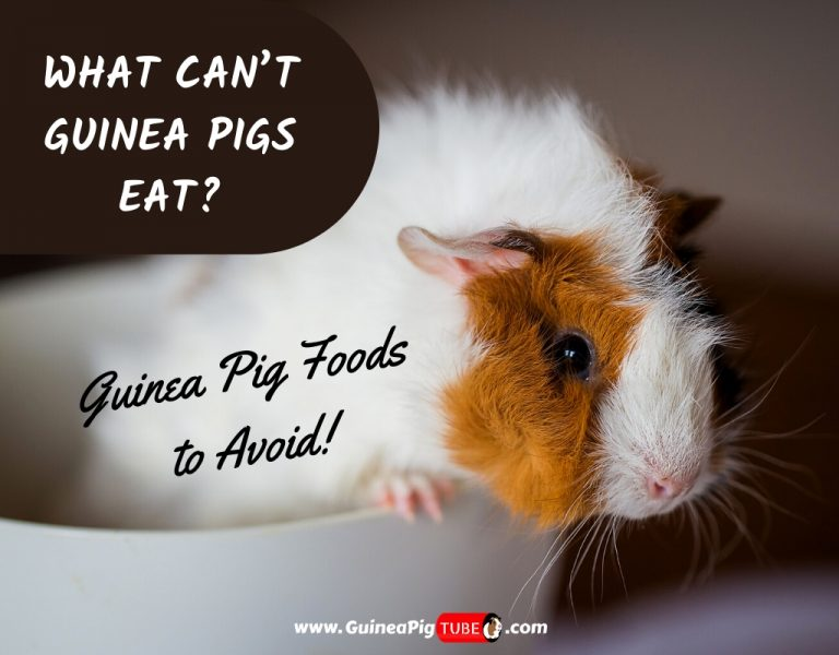What Can't Guinea Pigs Eat_ _ Guinea Pig Foods To Avoid
