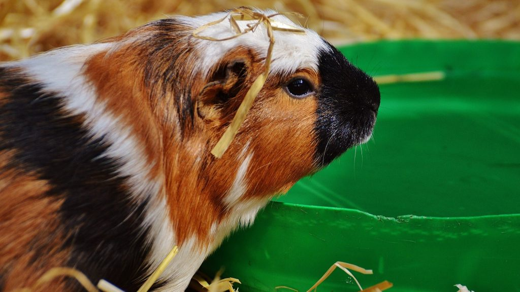What Do Guinea Pigs Drink