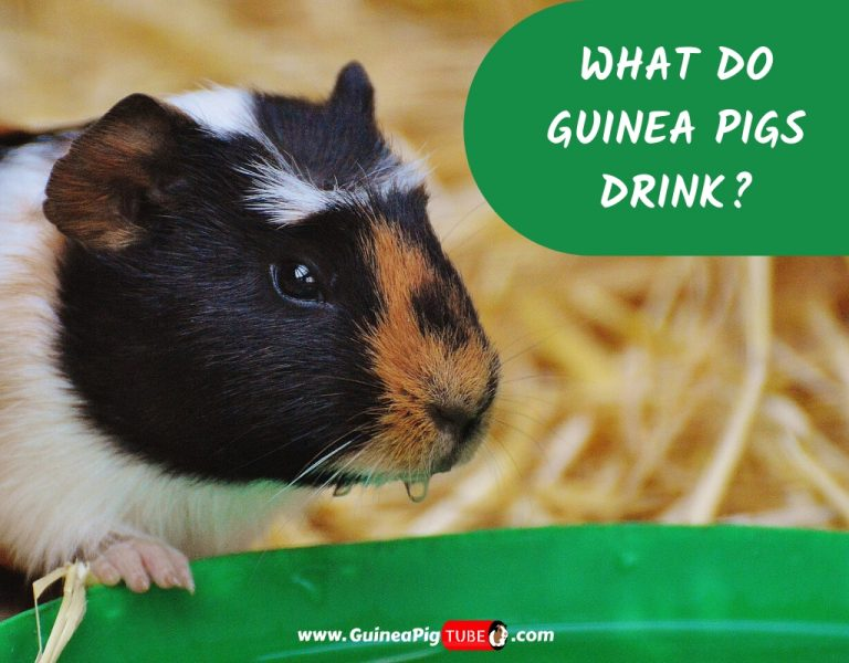 What Do Guinea Pigs Drink_