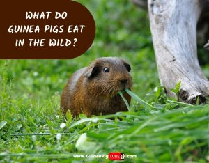 What Do Guinea Pigs Eat In The Wild_.