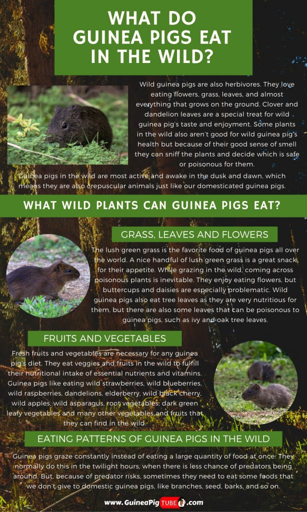 What Do Guinea Pigs Eat In The Wild_1
