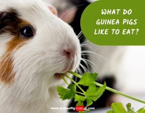 What Do Guinea Pigs LIKE to Eat_