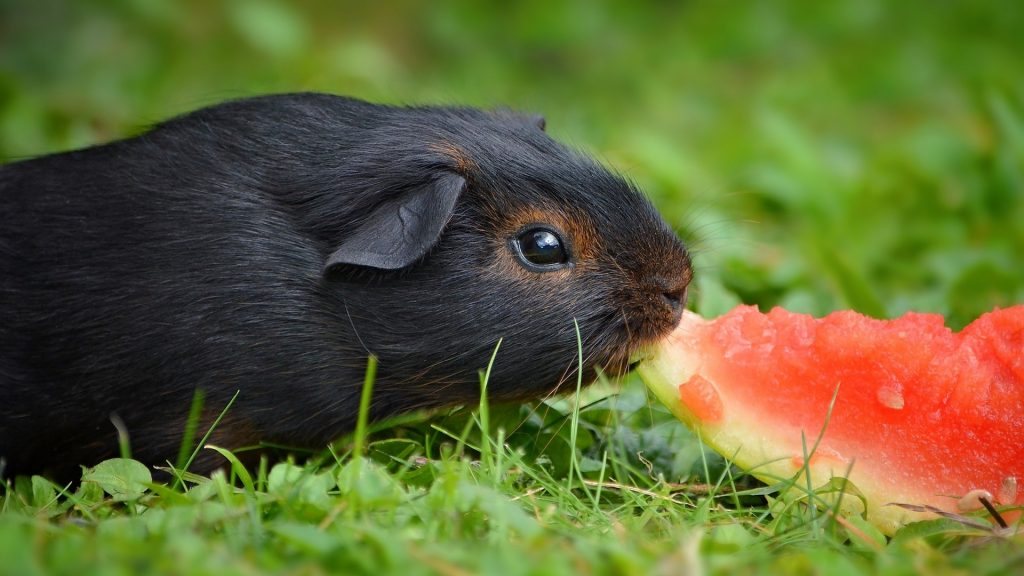 What Do Guinea Pigs Like to Eat as a Treat