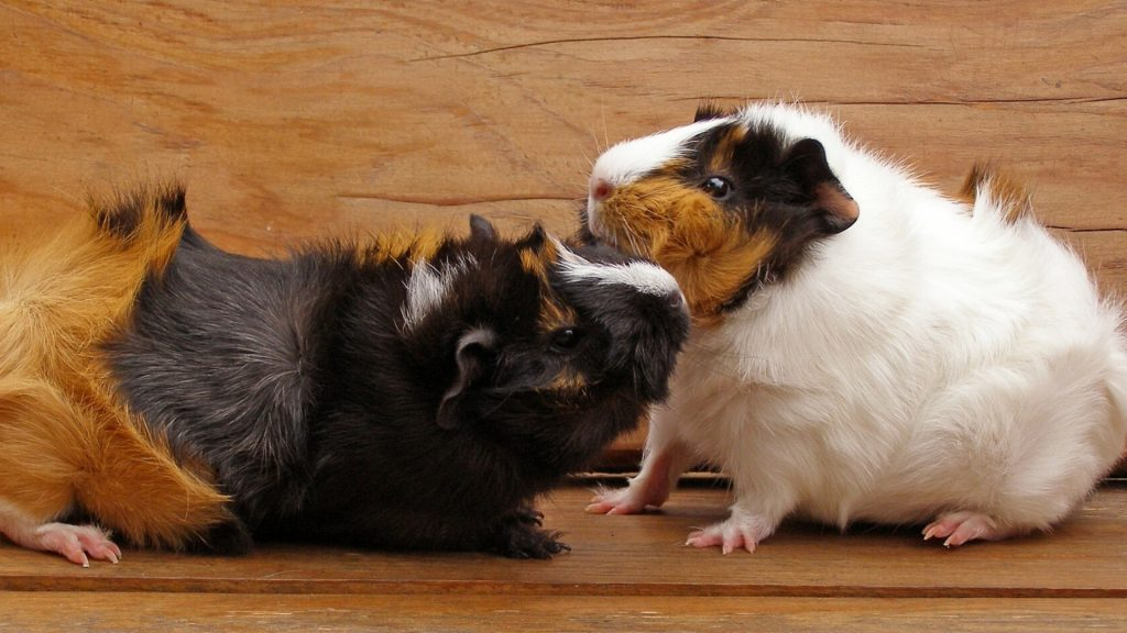 Why Do Guinea Pigs Bite Each Other
