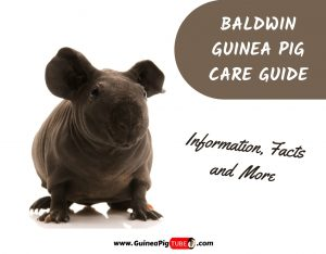 Baldwin Guinea Pig Care Guide