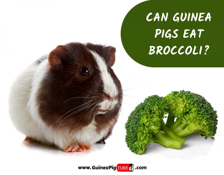 Can Guinea Pigs Eat Broccoli_