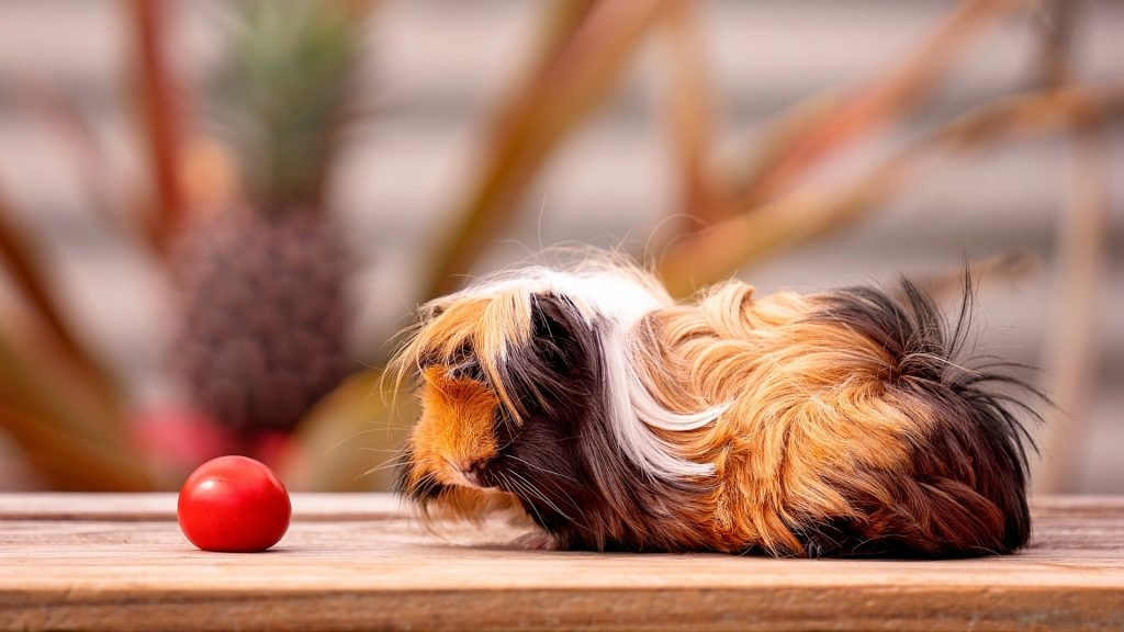 Can Guinea Pigs Eat Cherry Tomatoes