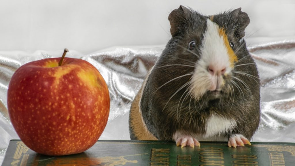 Can Guinea Pigs Eat Red Apple