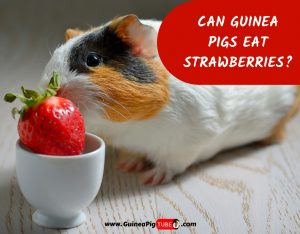 Can Guinea Pigs Eat Strawberries_