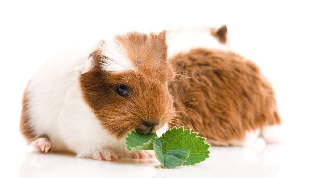 Can Guinea Pigs Eat Strawberry Leaves