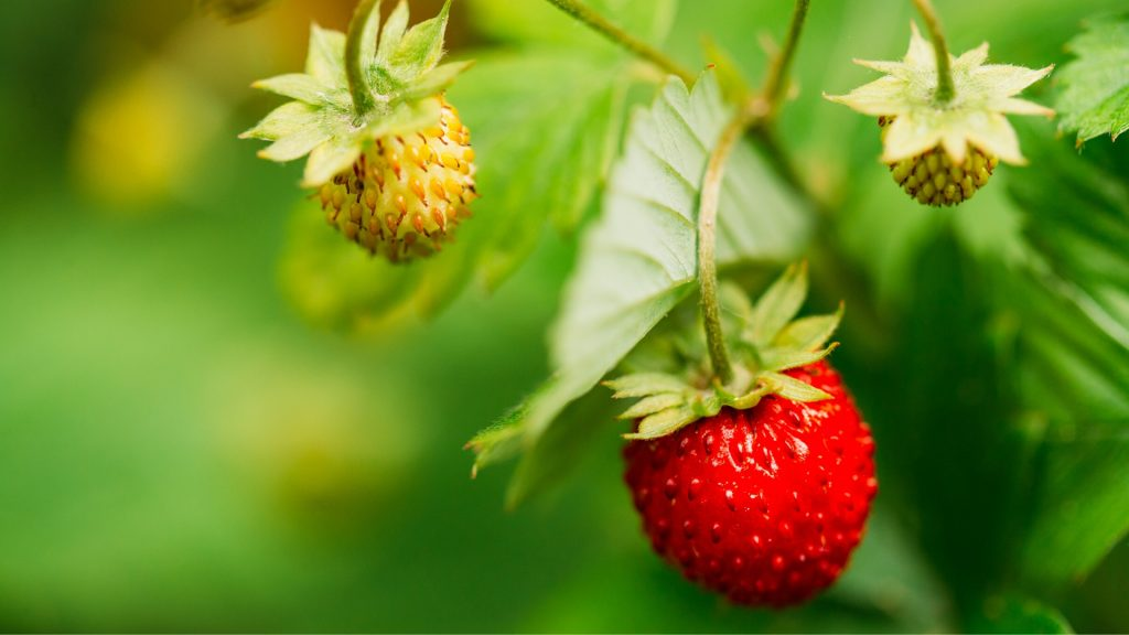 Can Guinea Pigs Eat Wild Strawberries