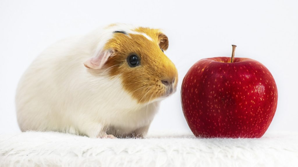 Can Guinea Pigs Eat an Entire Apple