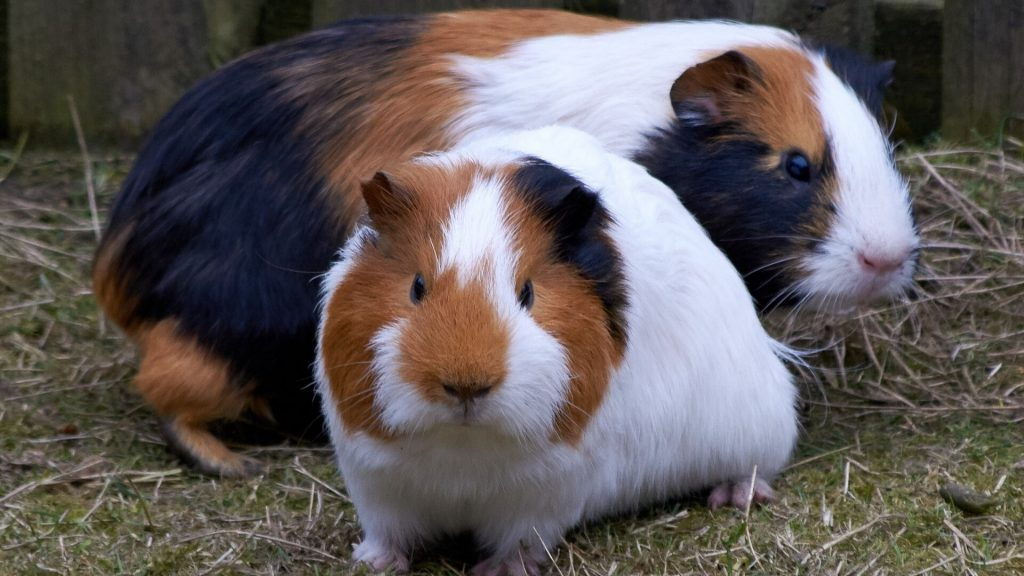 Does Gender Affect How Much Guinea Pigs Will Fight