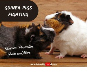 Guinea Pigs Fighting_ Reasons, Prevention Guide & More