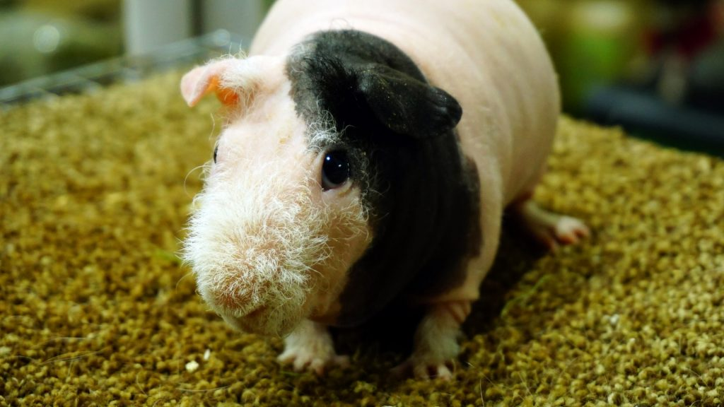 Hairless Guinea Pig Price Do They Cost More Than Other Breeds