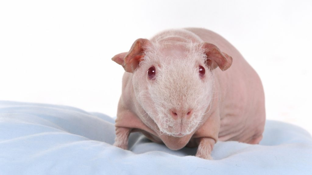 Hairless Skinny Guinea Pig Everything You Need to Know