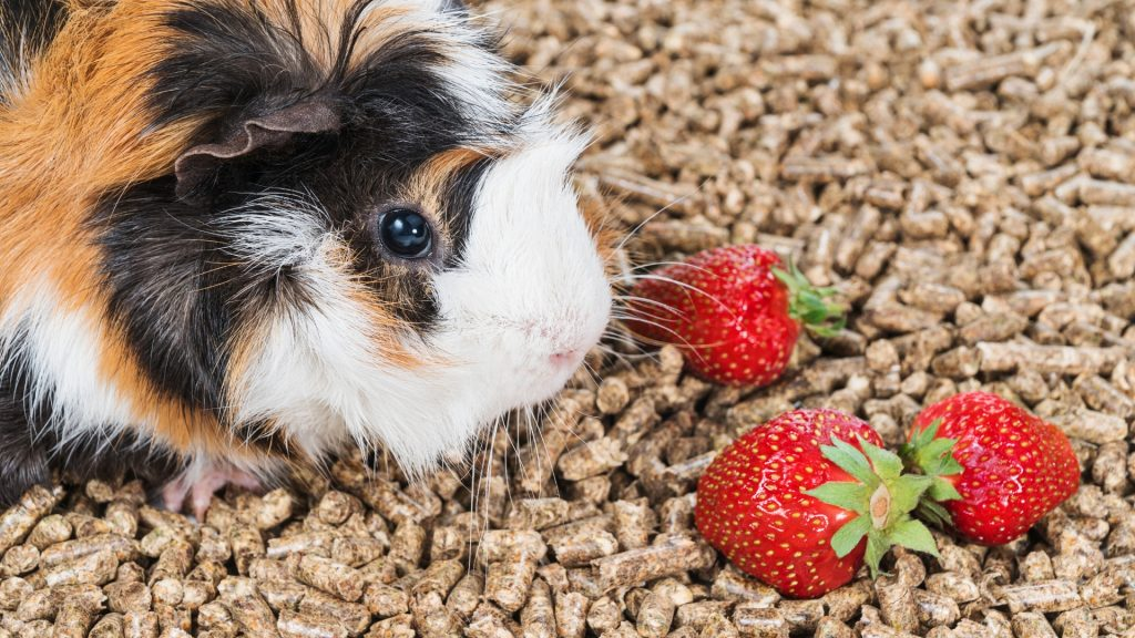 How Many Strawberries Can a Guinea Pig Eat