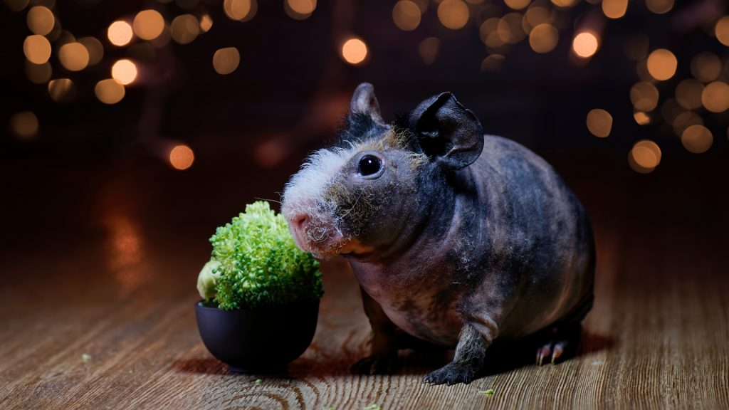 How Much Broccoli Can Guinea Pigs Eat