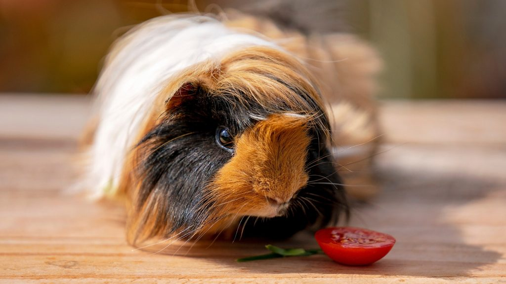 How Much Tomato Can a Guinea Pig Eat