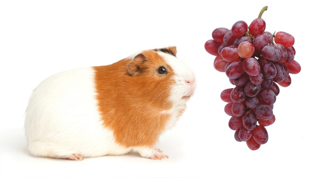 More Information About Guinea Pigs and Grapes