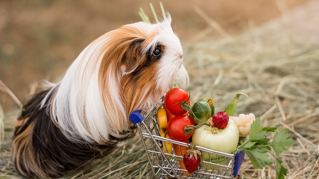 Serving Size and Frequency of Tomatoes for Guinea Pigs