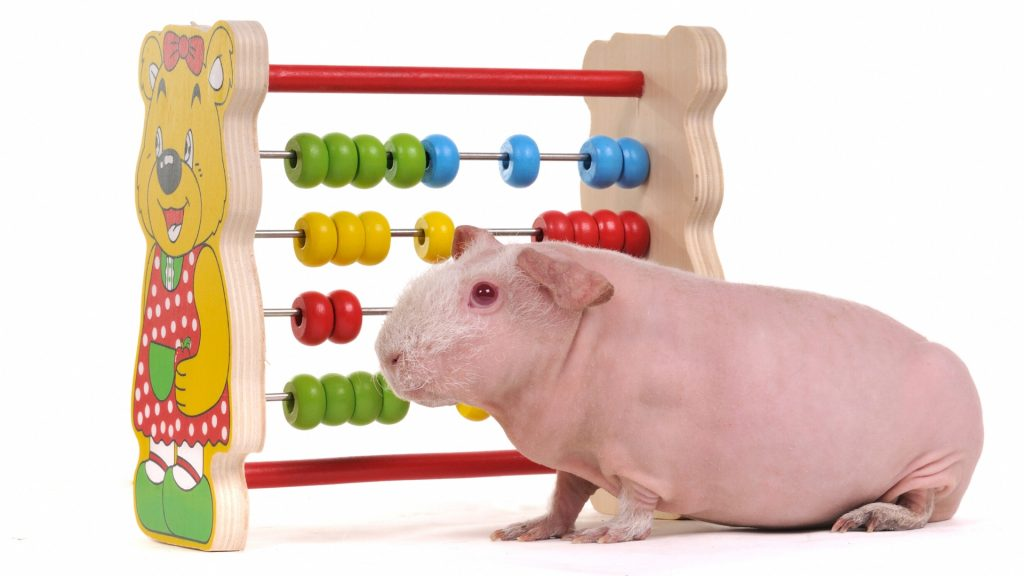 Skinny Guinea Pig Cage Requirements
