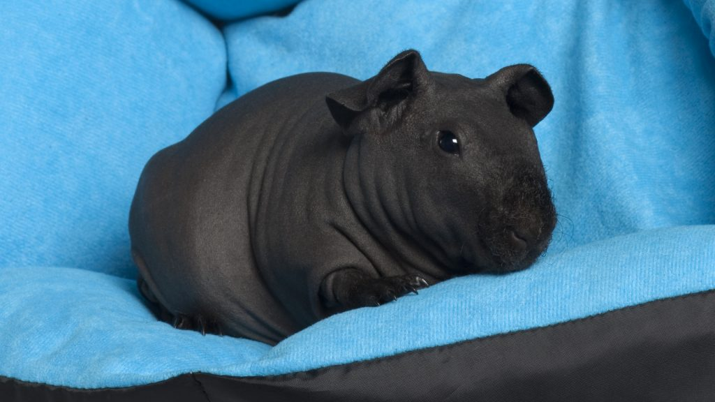 Skinny Guinea Pig Care Guide Instructions and Tips
