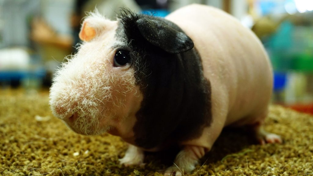 Skinny Guinea Pig Names That People Use