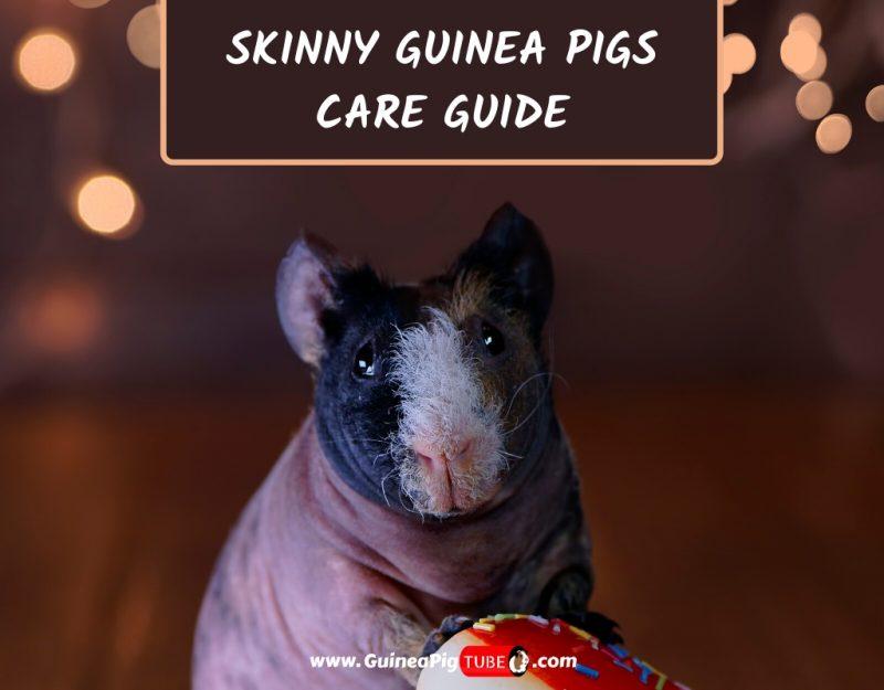 Skinny Guinea Pigs Care Guide