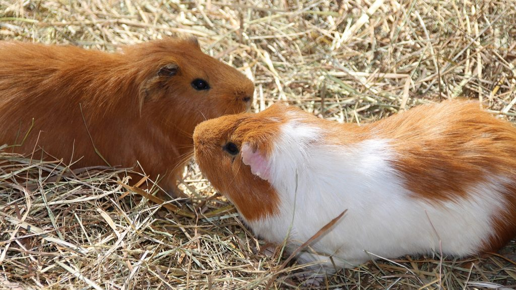 Why Are My Guinea Pigs Fighting Main Reasons