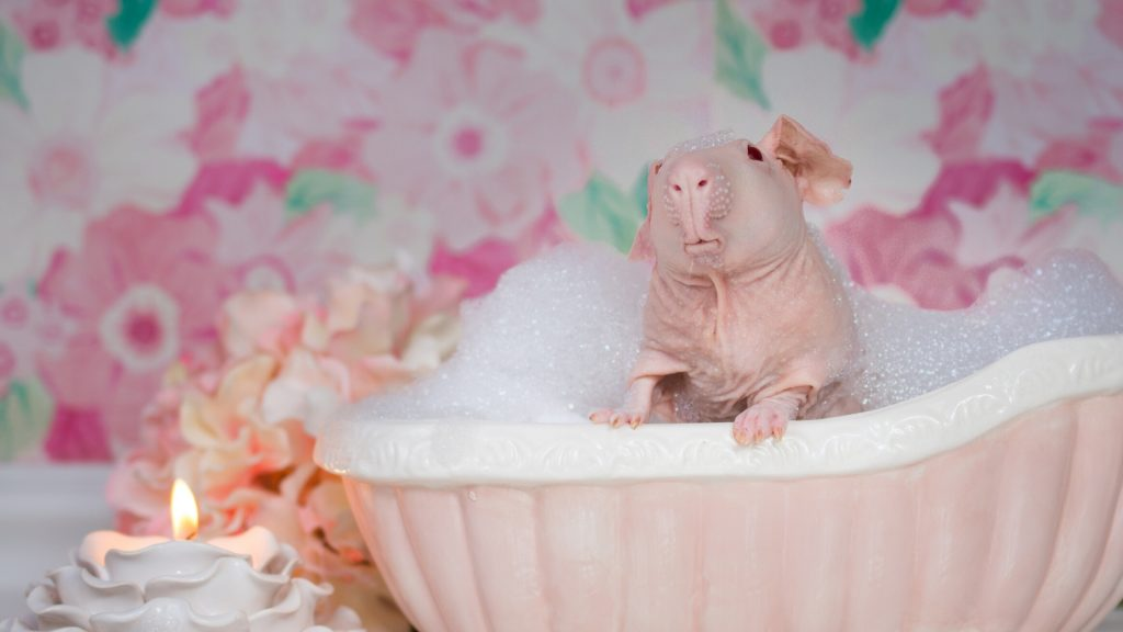 Baldwin Guinea Pig Care Guide Instructions and Tips