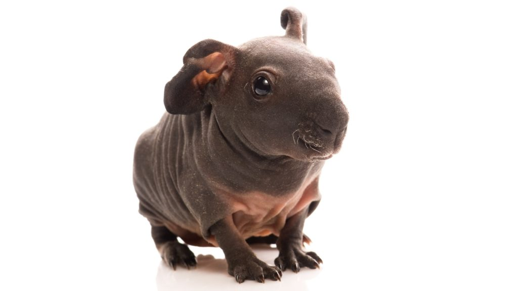 Baldwin Guinea Pig History Information and Facts