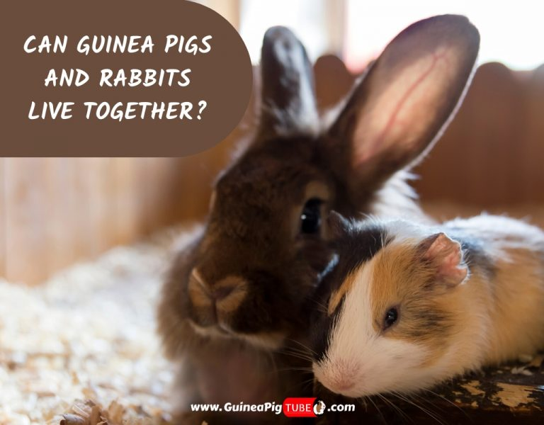 Can Guinea Pigs And Rabbits Live Together_