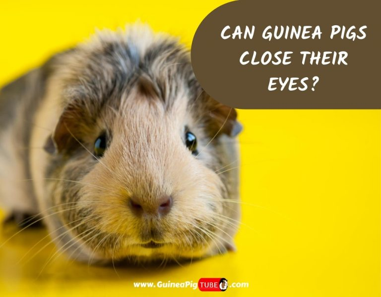 Can Guinea Pigs Close Their Eyes_