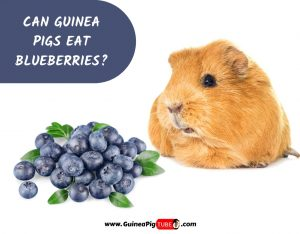 Can Guinea Pigs Eat Blueberries_
