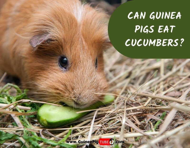 Can Guinea Pigs Eat Cucumbers_