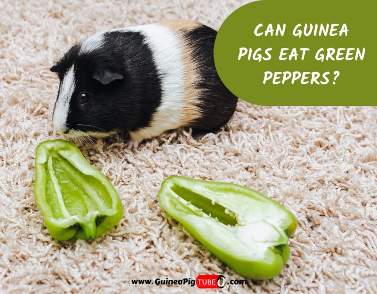 Can Guinea Pigs Eat Green Peppers_
