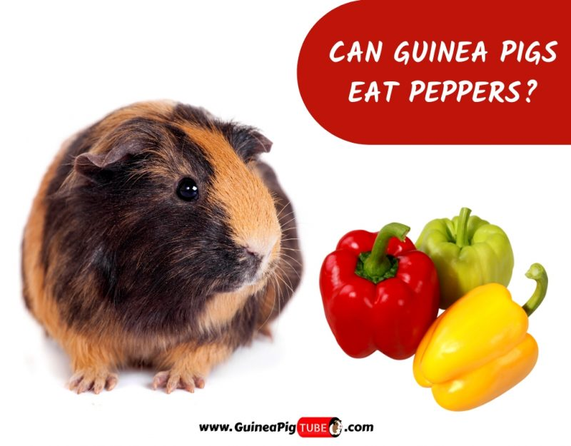 Can Guinea Pigs Eat Peppers