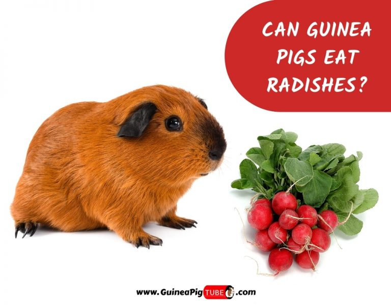 Can Guinea Pigs Eat Radishes_