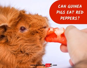 Can Guinea Pigs Eat Red Peppers_