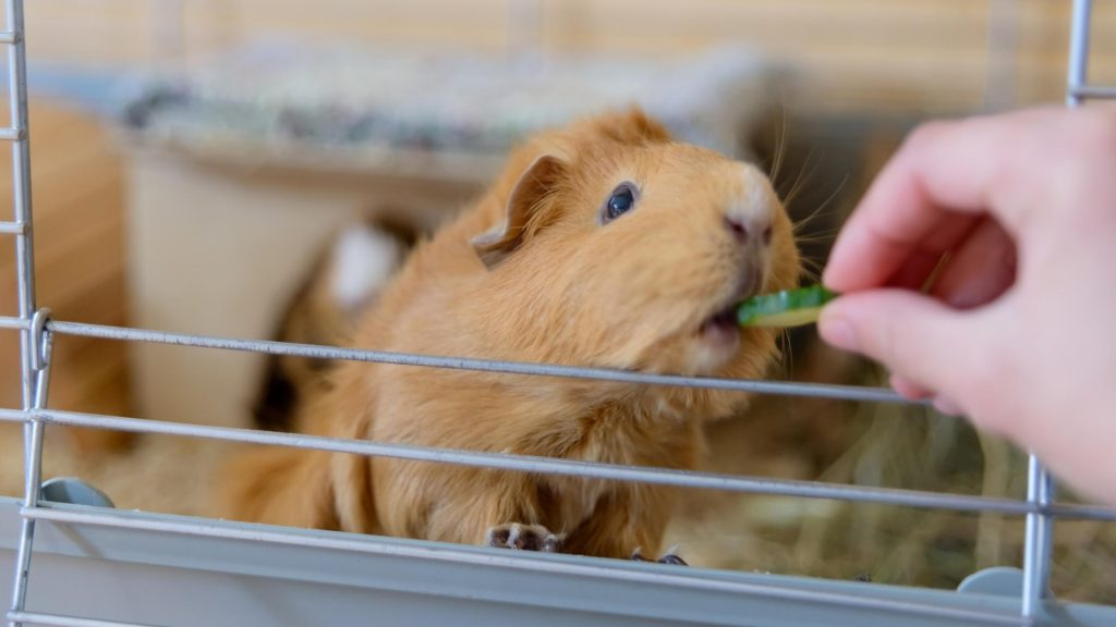 Can Guinea Pigs Eat Too Much Cucumber