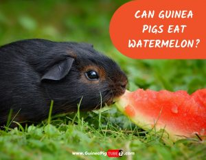 Can Guinea Pigs Eat Watermelon_