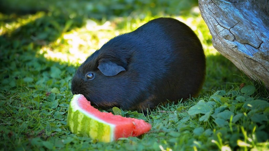 Can Guinea Pigs Eat Whole Watermelon